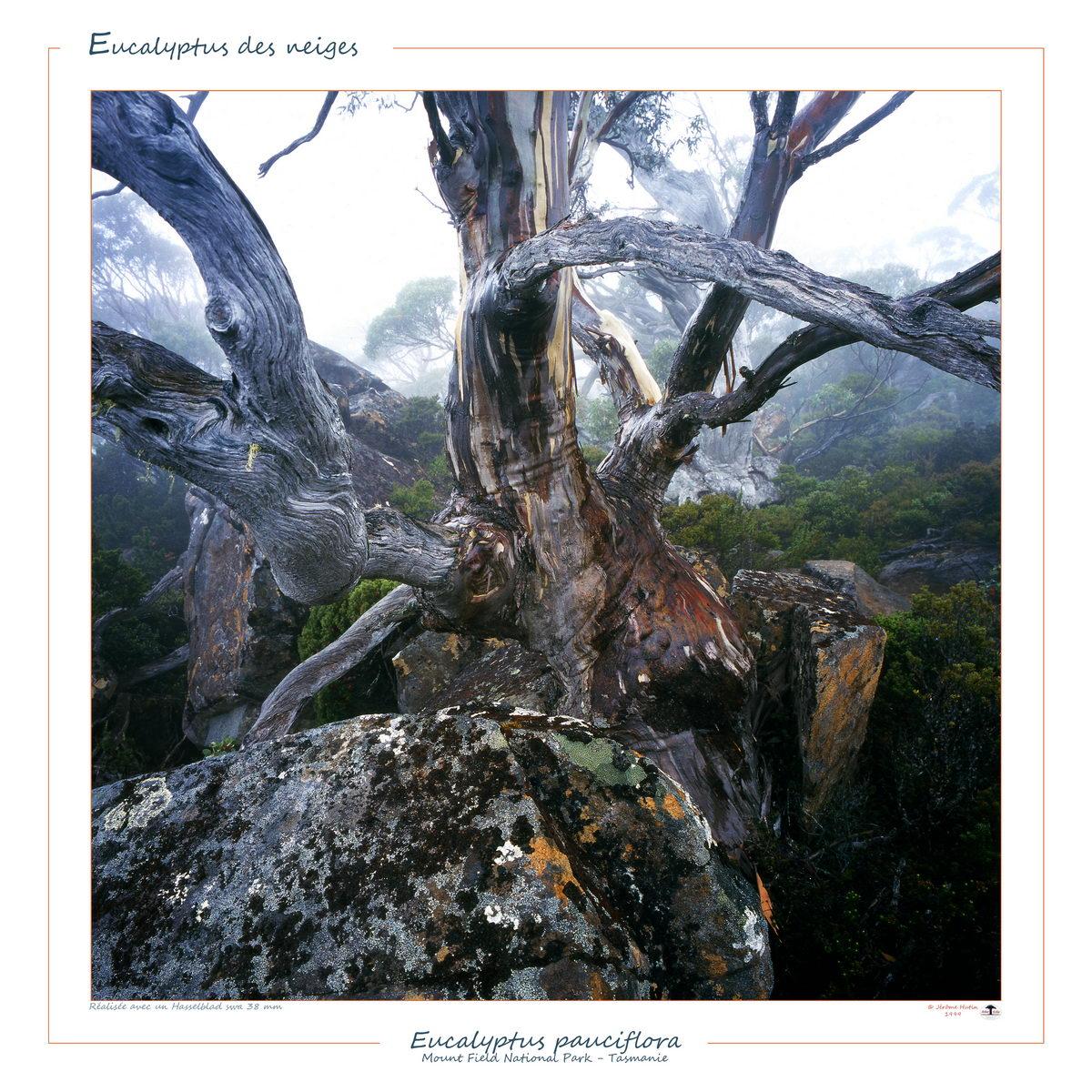 Euclayptus pauciflora Mt Field Tasmanie