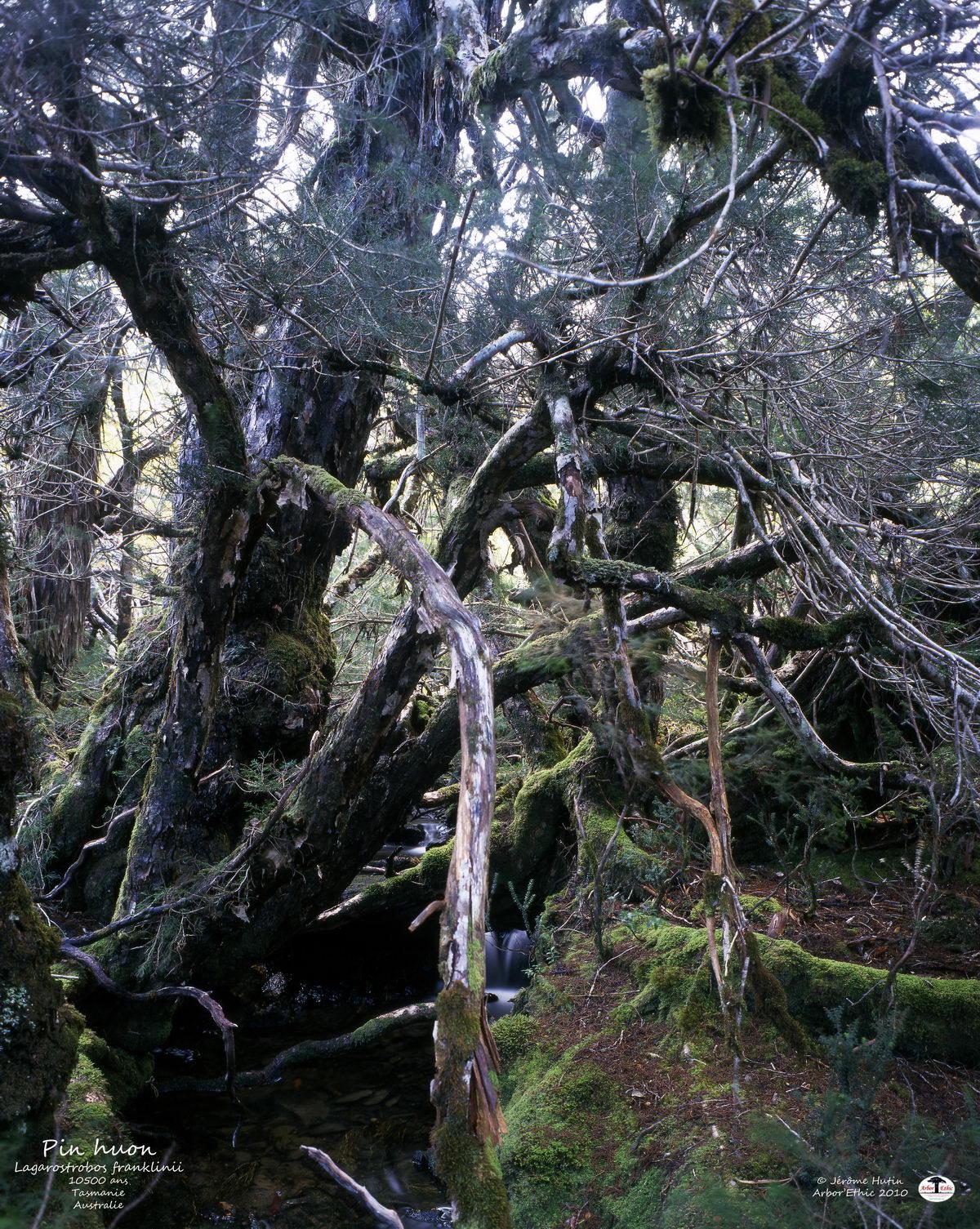 Pin huon de Tasmanie
