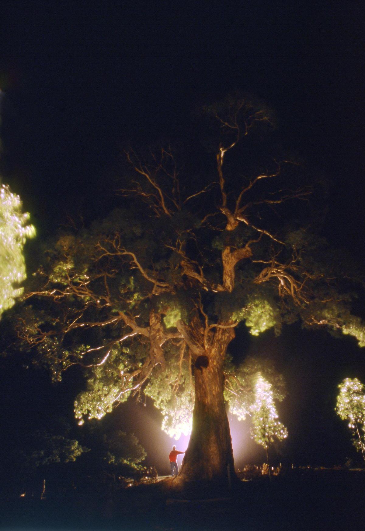 eucalyptus nocturne, victoria, Australie