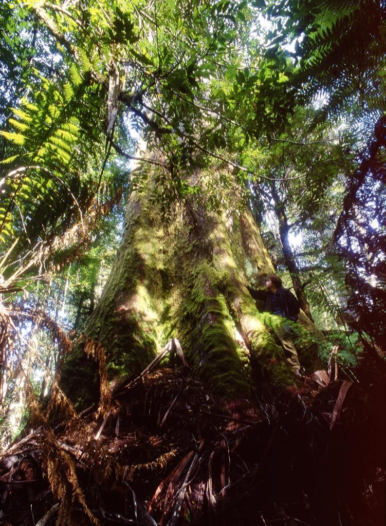 Eucalyptus à Styx Valley, Tasmanie
