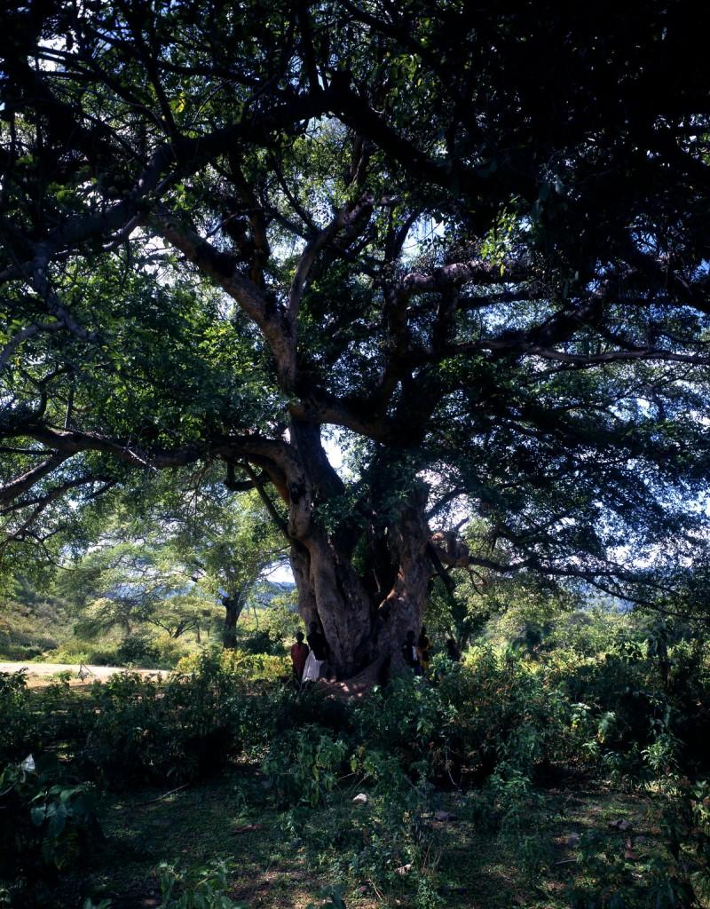 Ficus natalensis Kenya