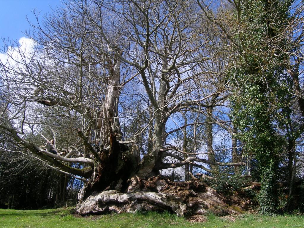Chataignier de Kerseoch, Finistère