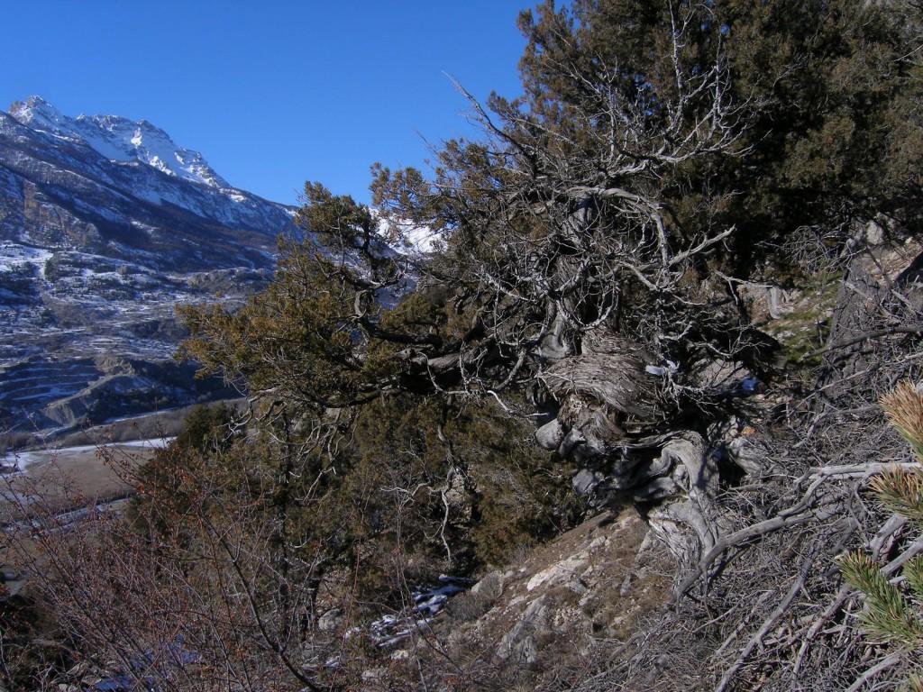 Genevriers Thuriferes à Guillestre - Hautes Alpes