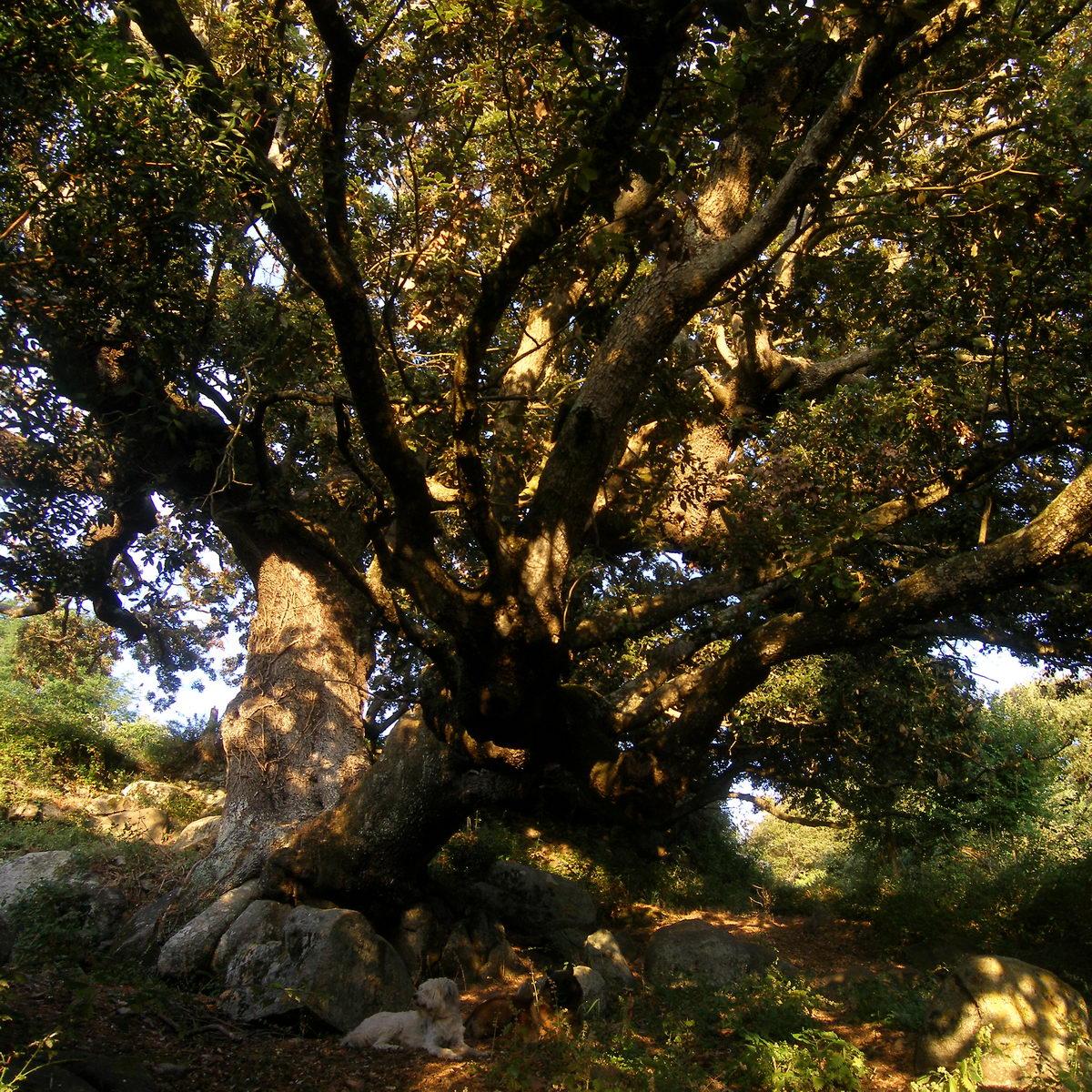 Chene à Bilia, Corse