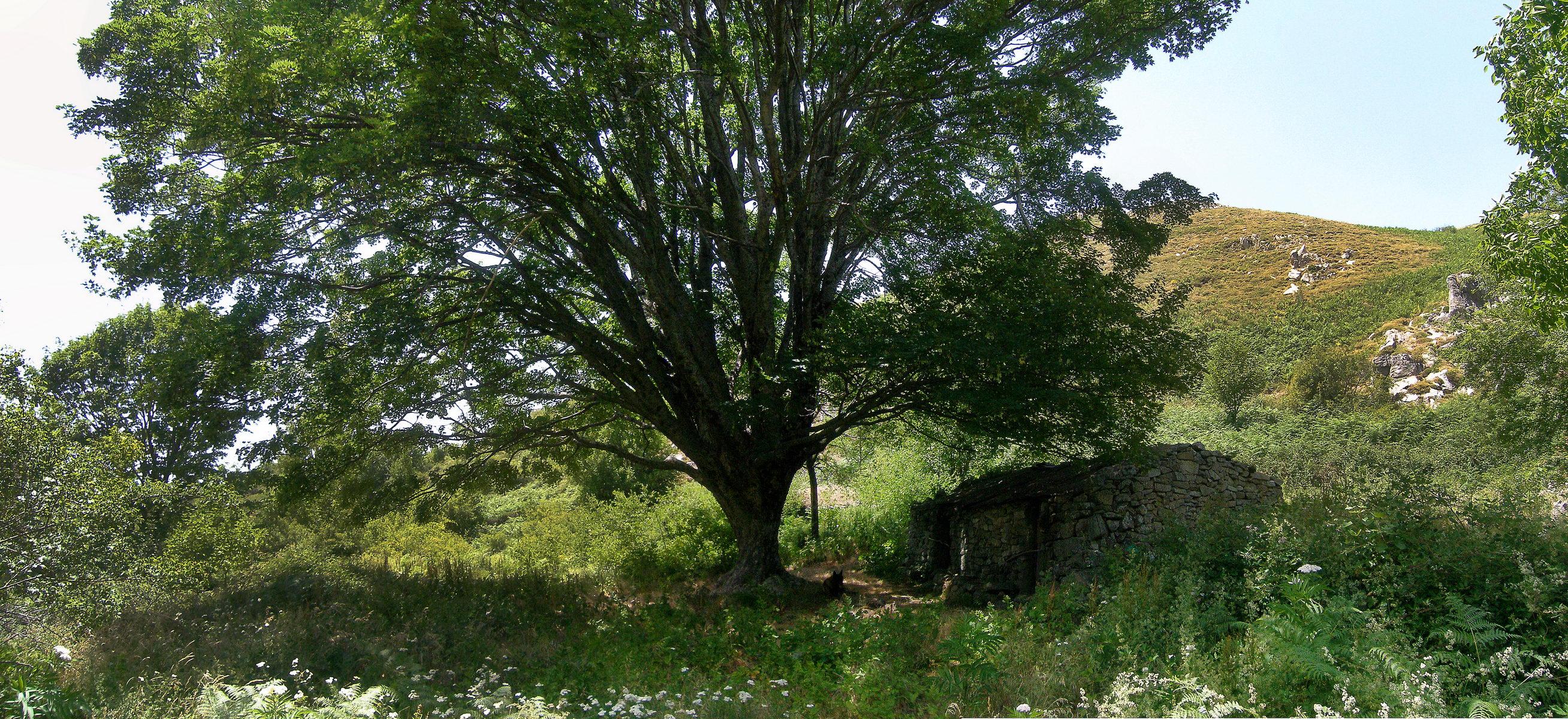 Erable sur le plateau de Cuscione, Corse